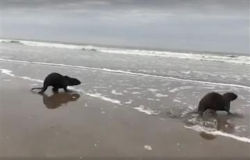 Video: Impresionante gesto de alegría de lobos marinos al ser liberados