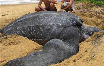 España: Hallan enorme tortuga de 700 kilos en una playa