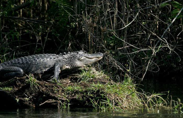 En Puerto Berrío, Antioquia, arrojan mascotas a un caimán por diversión