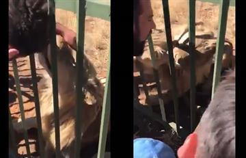 Video: Hombre casi pierde la mano tras meterla en una jaula de leones
