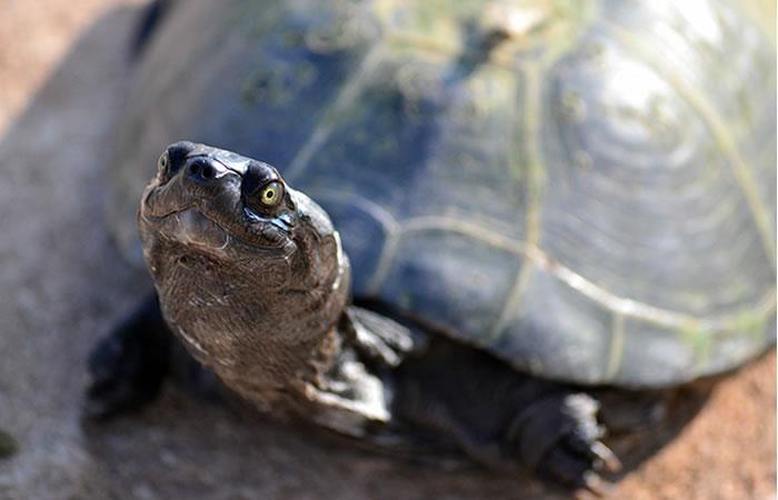 EE.UU: Científicos usan juguete sexual para estudiar a las tortugas