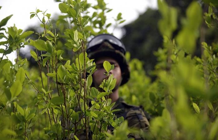 Cultivos de cocaína. Foto. AFP