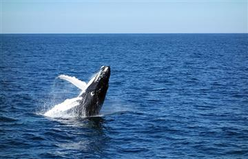 Estudio: Las ballenas azules son sobre todo diestras