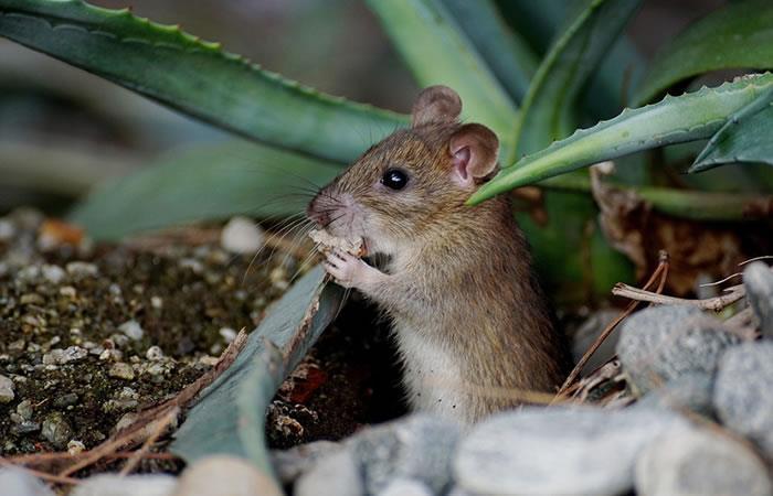 Estudio: ¿El ratón muta y se desplaza al norte por el cambio climático?