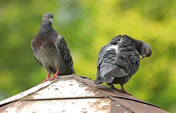 Estudio señala que las palomas son más inteligentes de lo que pensábamos