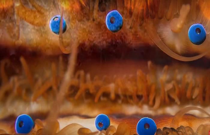 Descubren cómo funciona la visión del animal con 200 ojos
