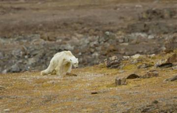 Las desgarradoras imágenes de un oso polar se toman las redes