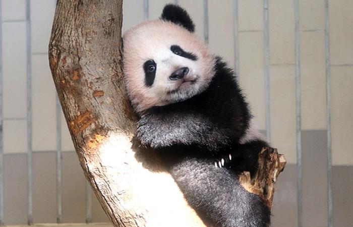 Japón: Nace bebé panda que se estrena ante la prensa