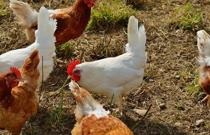 Antioquia: Hombre es acusado de abusar de varias gallinas