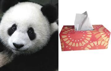La empresa que transforma la caca de panda en pañuelos de papel