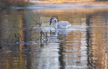 Suiza: Hallaron un cisne infectado por gripe aviar