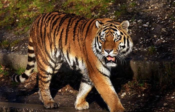 Tigre mató a una empleada de una plantación de aceite de palma