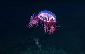 "VIDEO: Descubren una medusa ""extraterrestre"" en aguas de México"