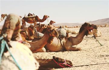 Arabia Saudita: Camellos con botox fueron expulsados de un concurso de belleza