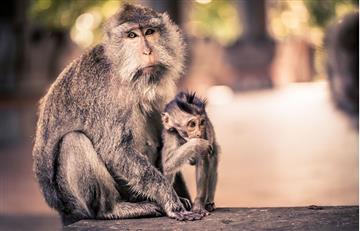 Impresionante experimento con monos los somete a respirar gases diésel