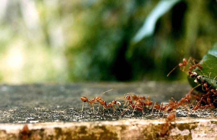 ¿Las hormigas podrían ser la base de futuros medicamentos?