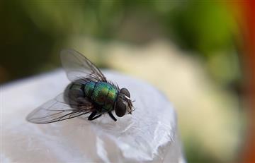 Miami: Liberan millones de mosquitos infectados con una bacteria