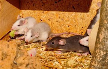¿Las ratas se ayudan a cambio de favores?