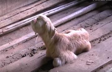 Video: Una cabra cíclope nace en una granja de Malasia
