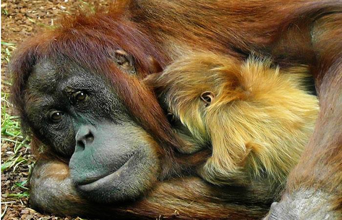 Deforestación reduce la población de orangutanes en Borneo
