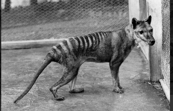 ¿El tigre de Tasmania se transformaba en perro en la bolsa de su madre?