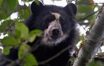 El oso de anteojos podría desaparecer en 25 años