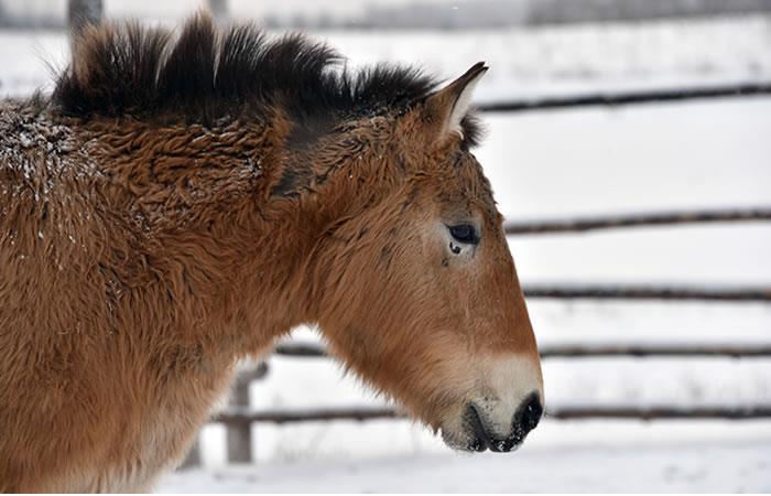 ¿Todos los caballos salvajes están extintos?