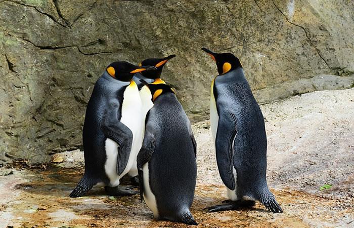Hallan más de 1,5 millones de pingüinos adelaida en el océano Antártico