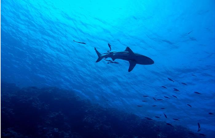 Las islas Samoa crean un santuario para tiburones