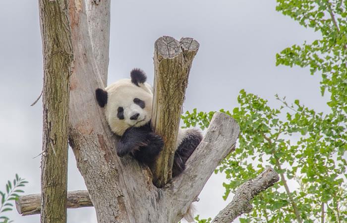 China planea crear parque nacional para pandas