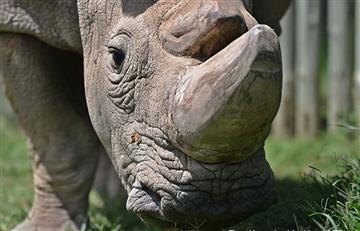 Murió Sudán, el último rinoceronte blanco del norte del mundo