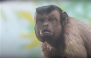 Video: El mono con cara de humano que impresiona a los internautas