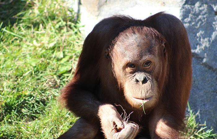 Video: Orangután intenta besar a un visitante del zoológico