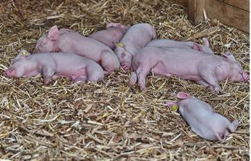 Cuba: Nace un cerdo con una cabeza y dos cuerpos