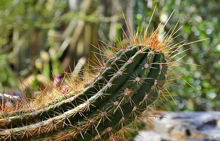 Este es el único cactus en el mundo que camina