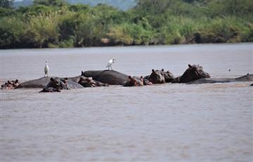 Video: Impresionante rescate de un ñu que es atrapado por cocodrilos