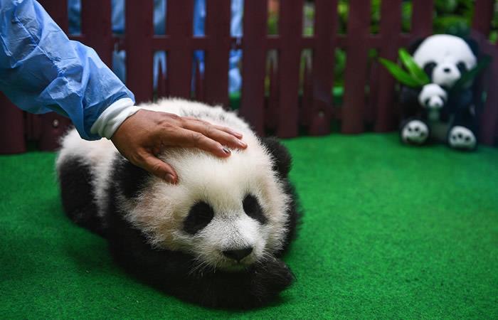 Presentan el segundo panda nacido en el zoo de Kuala Lumpur