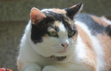 La obesidad en gatos podría afectar su expectativa de vida