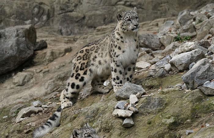 Video: Rescatan a un leopardo atrapado en un pozo de seismetros de profundidad