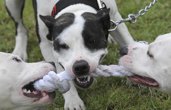 Razas de perros peligrosos. Foto: AFP.