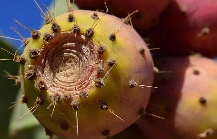 Crean en México un plástico biodegradable a base de jugo de nopal