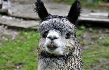 Laboratorio peruano clonará las alpacas de los Andes