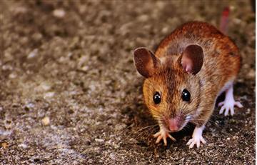 Científicos prueban en ratones posible anticuerpo universal contra VIH