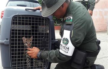 Cartagena: En una vereda de Bolívar fue rescatado un tigrillo