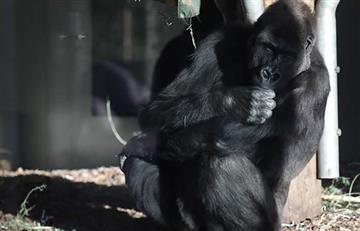 Murió Koko, la gorila que dominaba el lenguaje de signos