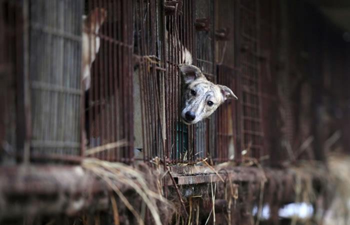 Un perro en su jaula en un criadero canino en Namyangju cerca de Seúl. Foto: AFP