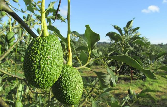 Colombia exportará aguacates Hass a la Argentina