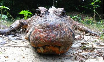 En Gabón, cocodrilos naranjas, la especie que ha sorprendido al mundo