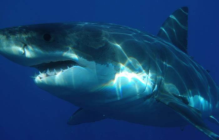 Hallan tiburón blanco en aguas españolas por primera vez en décadas