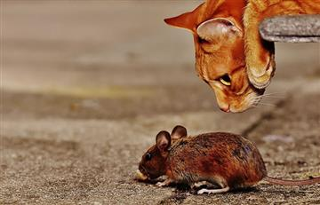 Estudio demuestra que el miedo de los ratones a los depredadores es genético